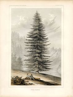 Click on Image to Enlarge  Click HERE for the Full Size Printable PDF Well, I've been saving this one all year, and I can't hold back any longer!! This wonderful Antique Botanical Print shows a Gigantic Glorious Pine Tree! I'm calling it a Christmas Tree and I think it would be so fun to...Read More »