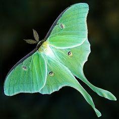 A Luna Moth. I love it's translucent green color.
