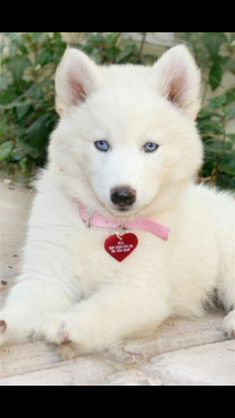 Wonderful All About The Siberian Husky Ideas. Prodigious All About The Siberian Husky Ideas. Cute Dogs And Puppies, I Love Dogs, Pet Dogs, Pets, Doggies, Lab Puppies, Baby Dogs, Cute Husky, Puppy Husky