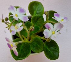 This is a miniature variety known as Morgans Declan Duff. The leaves are light green in color. The leaves are plain in shape. The flowers are white in color with fuschia patches. The flowers are pansy in shape. They are single in type. The plant was hybridized by C. Eros in 2010.