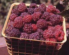Royalty Raspberry  http://www.starkbros.com/products/berry-plants/raspberry-plants/royalty-purple-raspberry?gclid=CNOG1enBgK4CFS6FQAodpw413w