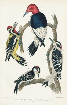 Red-headed Woodpecker, Yellow-bellied Woodpecker USD $65 Alexander Wilson Natural History of Birds of the United States 1832