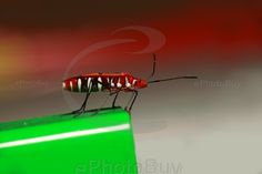 Red Cotton Stainer Bug stock photo
