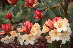 Rhododendron 'Horizon Monarch'  buds, flowers and leaves