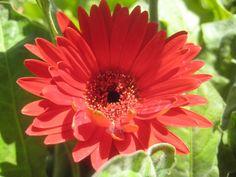Red gerbera / Clickasnap