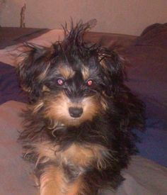 Lost Dog - Yorkshire Terrier in ROCHESTER, NY  Pet Name:	Max   (ID# 56090) Gender:	Male Breed:	Yorkshire Terrier Breed 2:	Shih Tzu Color:	Black Color 2:	Tan/Cream Pet Size:	X-Small (2-9lbs) Pet Age:	7 months Date Lost:	05/13/2014 Zip Code:	14606 (ROCHESTER, NY) See All Lost Dogs In ROCHESTER, NY