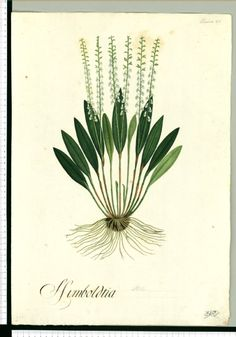 Humboldtia