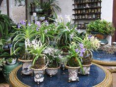 Fukiran - Neofinetias multicolores Bonsai Barber