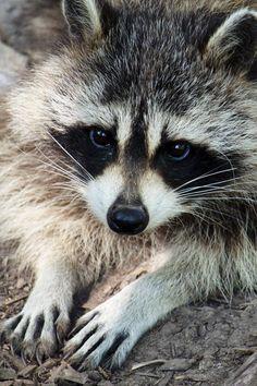Beautiful Raccoon