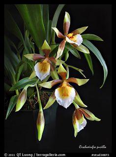 Garden Flowers - Annuals Or Perennials Cischweinfia Pusilla-P. A Species Orchid Color Orchid Plants, Exotic Plants, Exotic Flowers, Amazing Flowers, Orchids, Beautiful Flowers, Garden Plants, House Plants, Orchid Color
