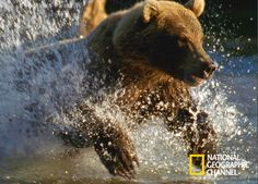 Brown Bears in Kamchatka Russia National Geographic, Russia, Fox, Brown Bears, Gallery, Animals, Documentaries, Life, Grizzly Bears