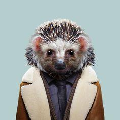 Desert Hedgehog - Paraechinus Aethiopicus