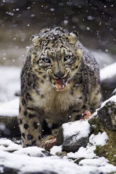Villy the male snow leopard, took time to eat some meat, under the falling snow. Animals Are Beautiful People, Beautiful Cats, Black Footed Cat, Big Animals, Cat Boarding, Tier Fotos, Snow Leopard, Horses, Gatos