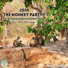 """Join The Monkey Party!! At Bandhavgarh National Park """"You Are Welcome""""!!!!"""