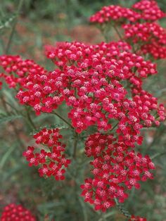 Yarrow On Pinterest Achillea Millefolium Perennials And