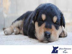 """Dientes de leche (temporales) en los perros y gatos. CLÍNICA VETERINARIA DEL BOSQUE. Así como los humanos, a los perros y gatos les salen dientes """"de leche"""" cuando son pequeños. Estos son menos que los permanentes y comienzan a caerse entre los 4 y 5 meses. Aunque no tienen gran complicación, suelen causar dolores en las encías y si no se caen todos, pueden ocasionar problemas de espacio para los definitivos. En Clínica Veterinaria del Bosque le damos atención odontológica a tu mascota…"""