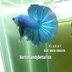Instagram at Norton Landy Betta Fish