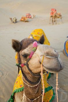 A happy camel in the Thar Desert of India.