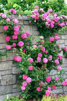 Muro de rosas.