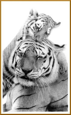 There are 6 out of 9 recent subspecies of tigers left on Earth. How long they will be able to survive though is in question. Right now all 6 of these remaining species are considered to be endangered.   Did you know:  One of the problems with tiger decreasing population is that less than half of their offspring live to be 2 yeas of age, let alone mature enough to mate themselves. Those that do survive though are usually about to live about 15 years in the wild. In captivity they can live