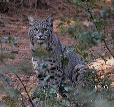 Here's a great photo of a bobcat in Yosemite from our friend Jeannine. Love wildlife? Stay connected with California's wild things by liking and sharing our page: https://www.facebook.com/NWFCalifornia