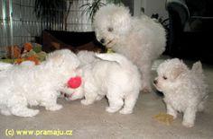 Cindy 10/2010 - Bichon Bolognese / Boloňský psík Bichon Bolognese, Dog Lady, Little Dogs, Animals, Little Puppies, Animales, Animaux, Animal, Animais