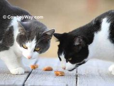 Homemade cat treats recipe: 3/4 cup shredded cheddar cheese; 1/3 cup grated Parmesan cheese; 1/4 cup plain yogurt, vanilla yogurt, or sour cream; 3/4 cup whole wheat flour; 1/4 cup cornmeal; 1/4 cup water.