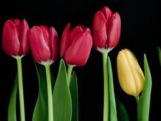 bunga gambar, wallpaper tulip, batang vektor, hitam foto latar belakang, latar belakang tunas, materi nomor