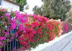 Bougainvillea makes a Color fence