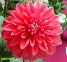 Medium Decorative dahlia 'Scaur Swinton'