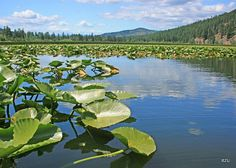 Lake  with plants to clean the water but  the water is to much polluted more plants are needed to clean the water.  Plants will take over the lake.