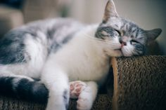 """ingelnook: """" The science of sleep by Eric Lui """" Hate Cats, I Love Cats, Crazy Cat Lady, Crazy Cats, Cat Paws, Dog Cat, I Said Meow, Baby Animals, Cute Animals"""