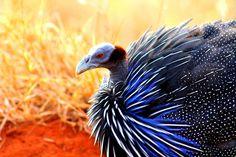 guinea fowl in garden - Google Search