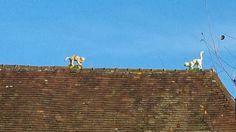 Los gatos en el tejado :) Bernay, Normandía, Francia