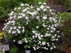 compact viburnum | viburnum korean compact viburnum carlesii compactum type shrubs zone 4 ...