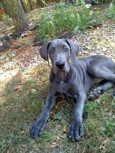 my great dane Blue when she was a widdle baby rachelcmouse