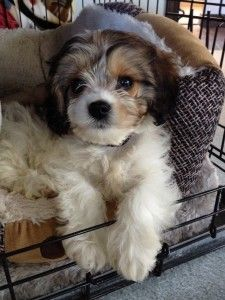 Poodle mix, A z and Poodles on Pinterest