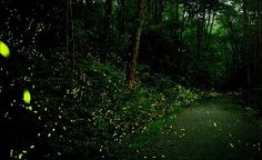 Great Smoky Mountains National Park - for about two weeks in June, fireflies descend on Elkmont Campground and put on a synchronized light show. When we lived in Gatlinburg, seeing the fireflies was one of my favorite things to do. This is a MUST SEE! Firefly Images, Smoky Mountain National Park, Great Smoky Mountains, Natural Wonders, Summer Nights, Lightning, Marie, Places To Go, National Parks