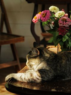 tabby chic - Tabby Cat - Ideas of Tabby Cat - Comfy in a little patch of sunshine! The post tabby chic appeared first on Cat Gig. Pretty Cats, Beautiful Cats, Beautiful Things, Crazy Cat Lady, Crazy Cats, I Love Cats, Cool Cats, Animals And Pets, Cute Animals