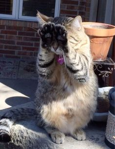Capable Of Understanding The Intricate Rules of Peekaboo Cat | 31 Cats You Won't Believe Actually Exist