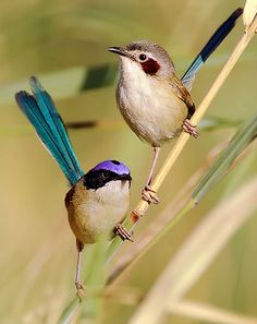 Purple-crowned Fairywren is endemic to northern Australia