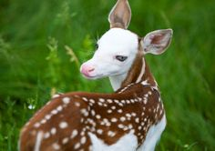 "His birth mother, ""Bunny"" is a special type of whitetail deer known as the Piebald, which carries a ... - Provided by Associated Press"