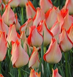 batalinii Salmon Gem   A late bloomer that brightens your day. At the first ray of sun its flowers open and change from a soft salmon pink to a glowing, orange pink carpet. A very nice and pretty addition to our assortment of miniature tulips.     Miscellaneous   Flowering period: mid   ↑ 15 cm   Bulb size 5 cm  http://www.fluwel.com/batalinii-salmon-gem/311
