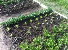 (Marzo 2016) Fave, insalata, cavolfiori, sedano e bietola . Iniziano a crescere ..
