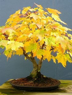 Bonsai Autumn by Stanley Zimny on Flickr.