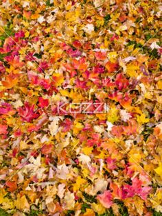Red Maple LEaves - Red maple leaves on the grass