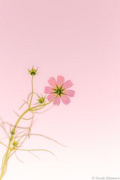 Cosmos days by Yusuke Kitamura on 500px