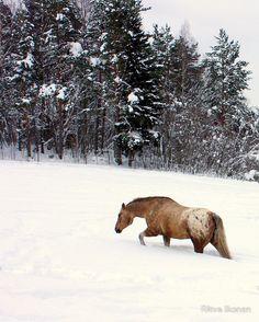 """""""Appaloosa in Snow"""" by Ritva Ikonen"""