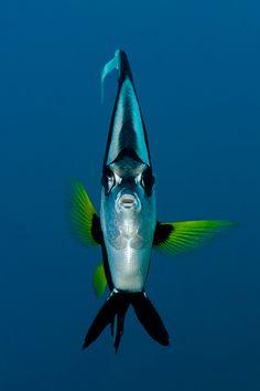 Gemeiner Wimpelfisch,