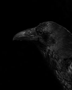 black crow - when the end of the beak is turned down, it's a crow - when it is long and straight, it's a raven - raven's are also a third larger than a crow